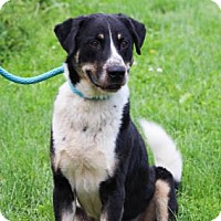 Adopt A Pet :: Buddy Holly - Anderson, IN