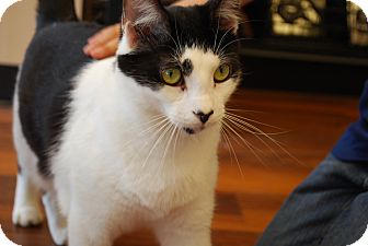 Domestic Shorthair Cat for adoption in Exton, Pennsylvania - Jerry (TD)