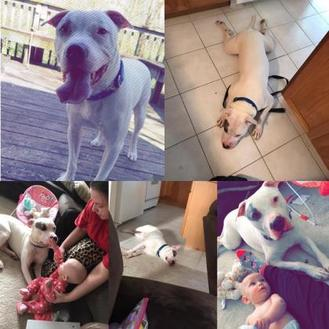 American Pit Bull Terrier/American Bulldog Mix Dog for adoption in Lowell, Indiana - Bronx