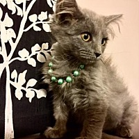 Adopt A Pet :: Wookie - Hampton, VA