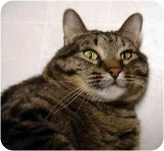 Domestic Shorthair Cat for adoption in Overland Park, Kansas - Wowie Howie