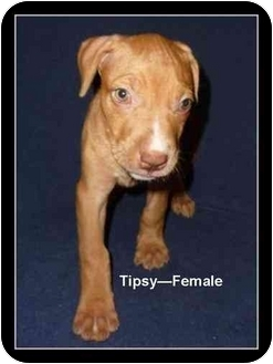 American Pit Bull Terrier/American Staffordshire Terrier Mix Puppy for adoption in Gilbert, Arizona - Tipsy