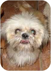 Shih Tzu Dog for adoption in Phoenix, Arizona - Maya
