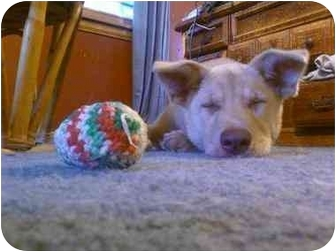 Labrador Retriever/German Shepherd Dog Mix Puppy for adoption in North Jackson, Ohio - Tika