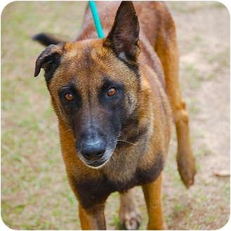 Dutch Shepherd Mix Dog for adoption in Preston, Connecticut - Marzaan