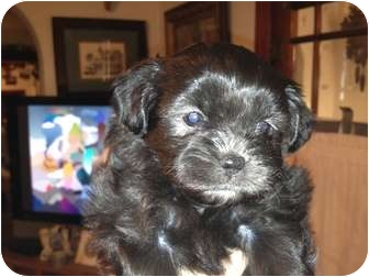 Pekingese/Poodle (Toy or Tea Cup) Mix Puppy for adoption in waterbury, Connecticut - Bess