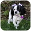 Photo 1 - Cavalier King Charles Spaniel/Shih Tzu Mix Dog for adoption in Newport Beach, California - FAYE