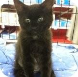 Domestic Shorthair Kitten for adoption in Riverside, Rhode Island - Lucy