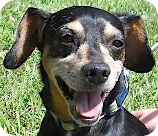 Dachshund Mix Dog for adoption in Kingwood, Texas - Limo