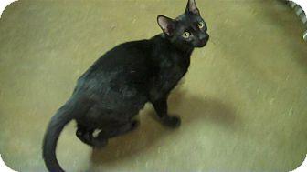 Domestic Mediumhair Kitten for adoption in New York, New York - Ozzy