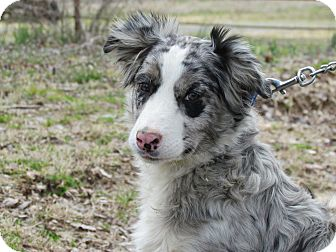 Australian Shepherd/Border Collie Mix Dog for adoption in Humboldt, Tennessee - STORMY
