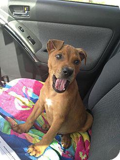 Shar Pei Mix Puppy for adoption in Gainesville, Florida - Java