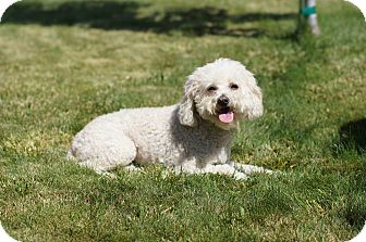 Bichon Frise/Poodle (Miniature) Mix Dog for adoption in Tustin, California - Lady
