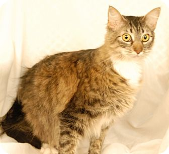 Domestic Shorthair Cat for adoption in Newland, North Carolina - Mimi