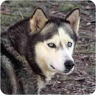 Siberian Husky Dog for adoption in Santa Fe, New Mexico - Juno