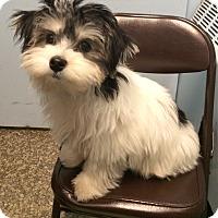 Adopt A Pet :: Joey Star - New York, NY