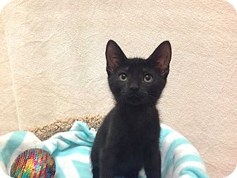 Domestic Shorthair Kitten for adoption in Foothill Ranch, California - Nyall