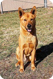 Carolina Dog Mix Dog for adoption in Burlington, New Jersey - Doyle