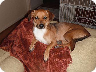 Chihuahua/Corgi Mix Dog for adoption in Houston, Texas - Lacey