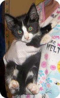 Domestic Shorthair Kitten for adoption in Rapid City, South Dakota - Figaro