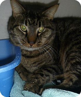 Domestic Shorthair Cat for adoption in Hamburg, New York - Milo