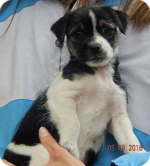 Shih Tzu/Terrier (Unknown Type, Small) Mix Puppy for adoption in Williamsport, Maryland - Star (3 lb)