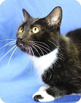 Domestic Shorthair Cat for adoption in Winston-Salem, North Carolina - Owen