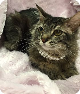 Maine Coon Cat for adoption in Houston, Texas - CeCe