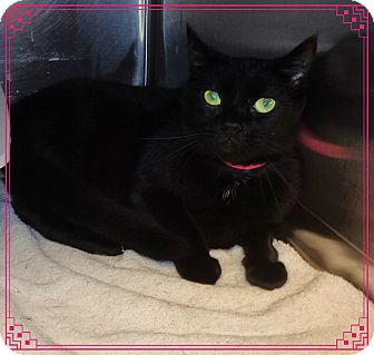 Domestic Shorthair Cat for adoption in Marietta, Georgia - GISELLE (R)