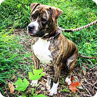 Pit Bull Terrier/Boxer Mix Dog for adoption in Asheboro, North Carolina - Maverick