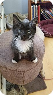 Domestic Mediumhair Kitten for adoption in Tampa, Florida - Dapper Dan