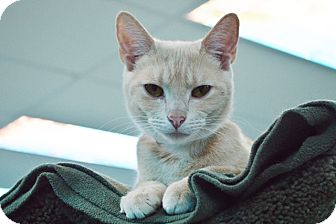 Domestic Shorthair Cat for adoption in Evansville, Indiana - Holly
