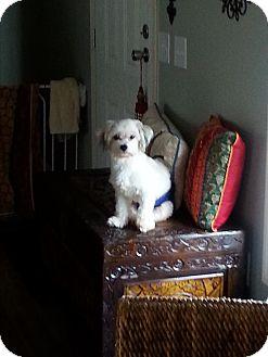 Maltese/Lhasa Apso Mix Dog for adoption in Dothan, Alabama - Sparky