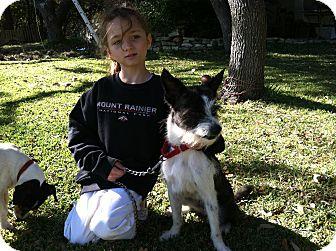 Schnauzer (Miniature)/Westie, West Highland White Terrier Mix Puppy for adoption in Boerne, Texas - Aislee