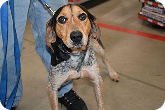 Bluetick Coonhound Mix Dog for adoption in Hopkinsville, Kentucky - Gunner