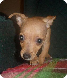Chihuahua Mix Puppy for adoption in Tacoma, Washington - Tippy