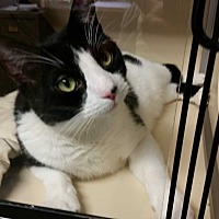 Adopt A Pet :: Ulrich - Franklin, NH