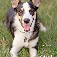 Adopt A Pet :: GABRIELLA - MINI AUSSIE MIX - Scottsdale, AZ