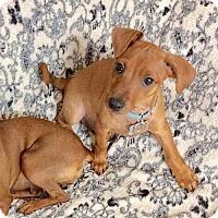 Adopt A Pet :: Dandy (GA) - Atlanta, GA