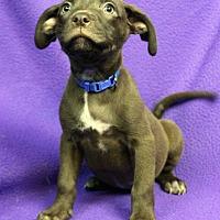 Adopt A Pet :: Hops - Westminster, CO