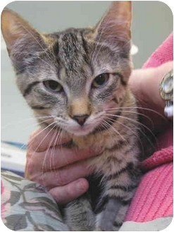 Domestic Shorthair Kitten for adoption in Colmar, Pennsylvania - Suzanne
