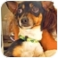 Photo 2 - Toy Fox Terrier/Chihuahua Mix Dog for adoption in Encino, California - JENNY