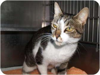 Domestic Shorthair Cat for adoption in El Cajon, California - Elvis