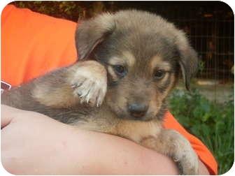 Norwegian Elkhound Mix Puppy for adoption in Paintsville, Kentucky - Bear-PENDING