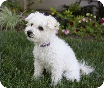 Maltese/Poodle (Toy or Tea Cup) Mix Dog for adoption in Newport Beach, California - BELLA