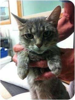 Domestic Shorthair Cat for adoption in Witter, Arkansas - Sweet Pea
