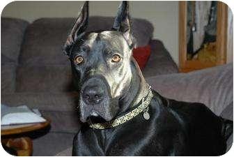 Great Dane Dog for adoption in East Hartland, Connecticut - Bella