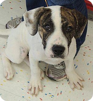 Shepherd (Unknown Type)/Labrador Retriever Mix Puppy for adoption in Birmingham, Alabama - Bandit