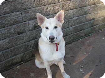 German Shepherd Dog/Husky Mix Puppy for adoption in Greeneville, Tennessee - Zeus