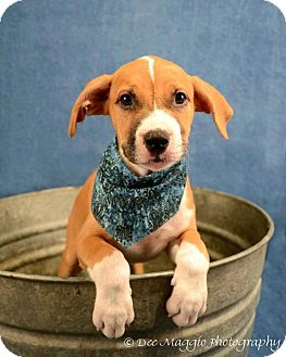 American Pit Bull Terrier/Shepherd (Unknown Type) Mix Puppy for adoption in Lapeer, Michigan - Timone
